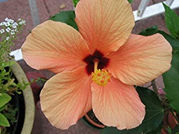 Hibiscus Rosa Sinensis Cairo Apricot House Plant In13cm Pot Amazon