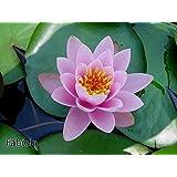 Fabiola water lily - pond plants - water lilies - aquatic plants