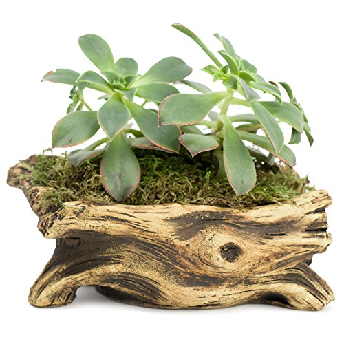 Natural Elements Log Planter (Branch) – Realistic woodland-themed with intricate weathered bark detail + Fiber Soil + moss mulch. Grow small succulents, cactus, African Violets. Striking in any décor.
