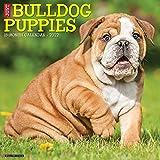 Just Bulldog Puppies 2022 Wall Calendar (Dog Breed)