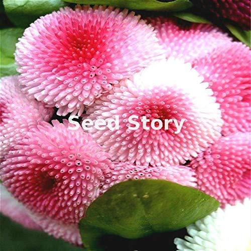 Fiori In Inglese.Green Seeds Co 300 Rosa Inglese Margherita Piante Di Fiori Da