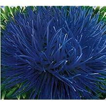 Blue Giant Aster Seeds Krallien Anhora (Callistephus chinensis) Annual Flowers