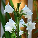 1000 Seeds White single Canterbury Bells,CAMPANULA medium ,Cup and Saucer Seeds