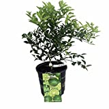 "Hirt's Key Lime Tree + Certificate - 6"" Pot - NO Ship TX,FL,AZ,CA,LA,HI"
