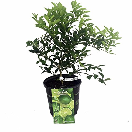 potted lime tree - 1