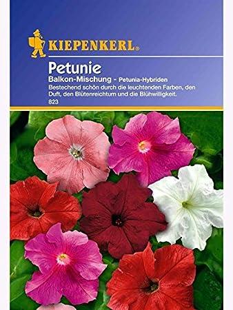 Blumensamen Petunien ca lila mit weiß Petunie 100 Samen