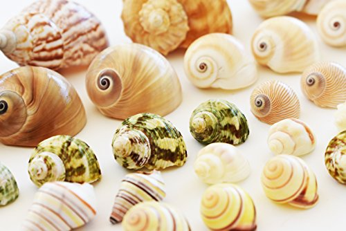 Florida Shells and Gifts Inc. 25 Shell Hermit Crab Changing Set - Select Shells - Small to Large 1/2''-1 1/2''+ opening Sizes - Land Snail, Turbo, Moon, Cornball and Conch Shells by Florida Shells and Gifts Inc.