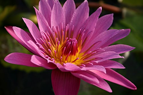 Evelyn Lily - PINK WATER LILY , EVELYN RANDIG, SOLD AS: BARE ROOT