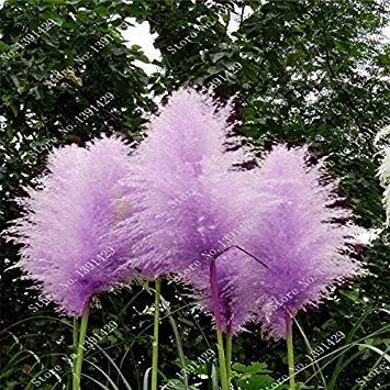 Pflanze Seltene Garten Gras 8 Fash Blumen Blumensamen Haus 8 Stã¼ck Lady Und Pampas 400 Schã¶ne Lila wHW1RUxqaH