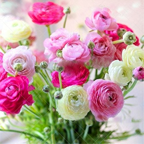 2pcs Ranunculus asiaticus Bulbs Rich and Colorful Flowers with Perennial herbaceous Flowers Decorative Home Garden Easy to -