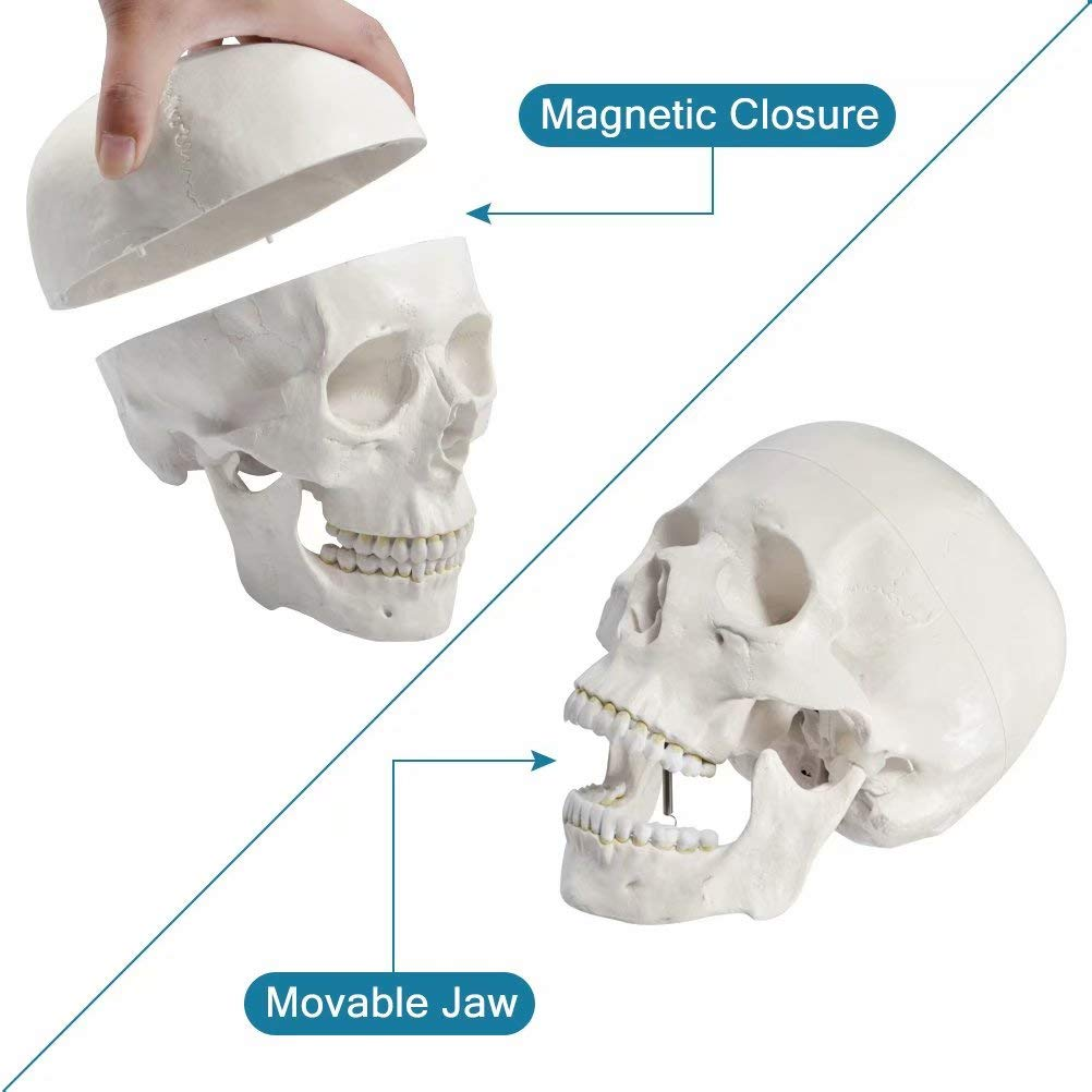 Disarticulated Human Skeleton Model for Anatomy Life Sized Anatomical Model 23 Intervertebral Discs 3 Part Skull with Movable Jaw Articulated Hand /& Foot Includes Colored Poster