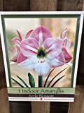 Amaryllis Apple Blossom Holiday Gift Growing Kit. Includes: Big Apple Blossom Bulb, plastic pot and saucer, and Professional Growing Medium