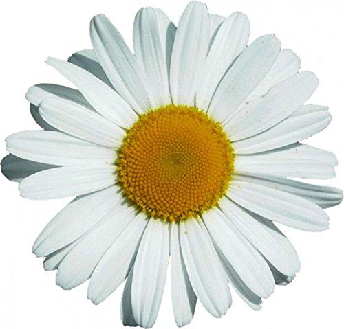Sticker 'Oxeye Daisy Flower', 180 x 160 mm