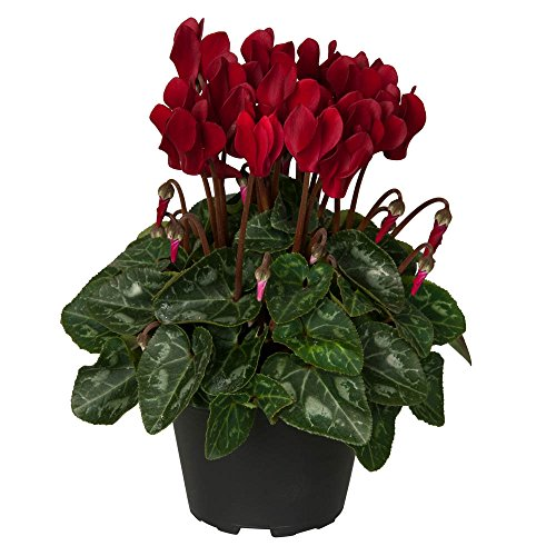 """Top Cyclamen Wine Red Live Plant - 2 (Two) Live Plants Fit 4"""" Pot for sale"""