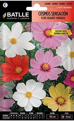 Semillas de Flores - Cosmos Sensación Flor Gigante variada ...