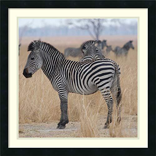 Framed Wall Art Print Zebras at a Glance by Scott Bennion 26.25 x 26.25