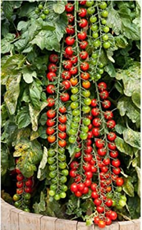 Seedscare Vegetable Cherry Tomatoes Seeds (Pack of 50 seeds) Vegetable Seeds at amazon