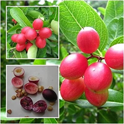 Karonda Fruit, Carunda, Carissa carandas 20 Seeds, Fruit Seeds, Natal Plum : Garden & Outdoor