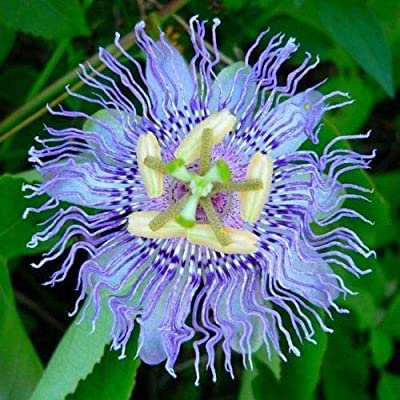 10 Rare Blue Passion Flower Seeds Passiflora Tropical Climbing Exotic Vine Plant