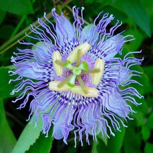 - 10 Rare Blue Passion Flower Seeds Passiflora Tropical Climbing Exotic Vine Plant