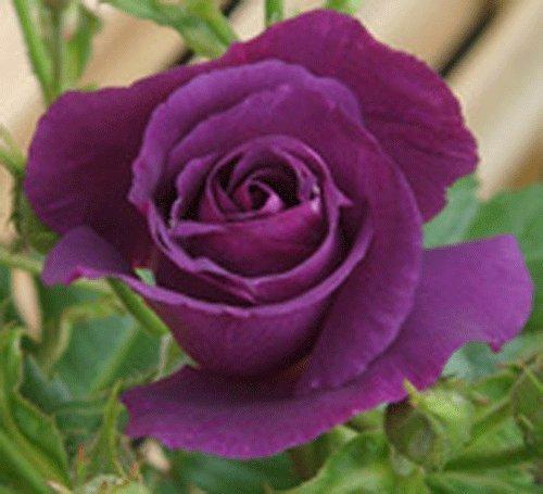 gardenexpert Rosa Bush Rose Floribunda 'Rhapsody in Blue' Plant Imberhorne Lane Nursery