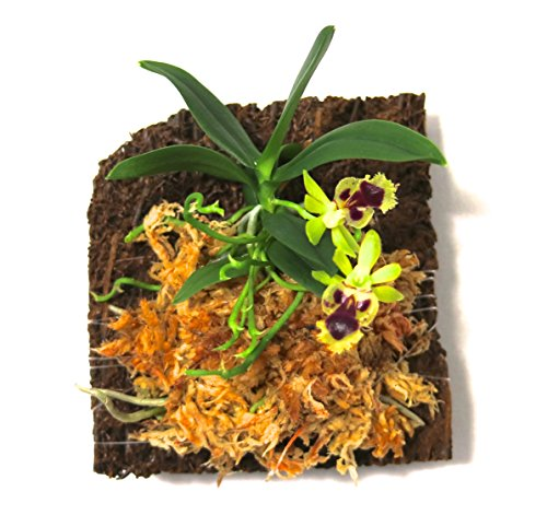 Miniature Orchid: Haraella retrocalla with Flower Spike, Tree Fern Mounted, Blooming Soon. ()