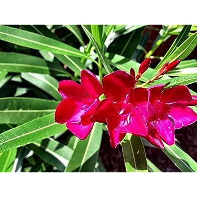 2 Red Oleander : Garden & Outdoor