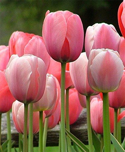 SILKSART Pink 20 Tulip Bulbs Perennial Bulbs for Garden Planting Beauty Flower--SHIPPING NOW!!!
