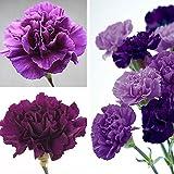 Potato001 100Pcs Purple Carnation Dianthus Caryophyllus Flower Seeds Home Garden Decor