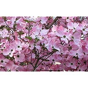 1 Pink Dogwood Tree 8-16