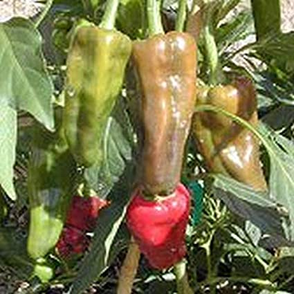 Amazon.com: Santo Domingo Pueblo Hot Pepper Seeds [100 ...