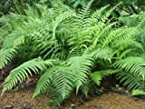 Classy Groundcovers - Dryopteris ludoviciana Aspidium ludovicianum, D. floridana, Nephrodium floridanum {25 Pots - 3 1/2 in.}