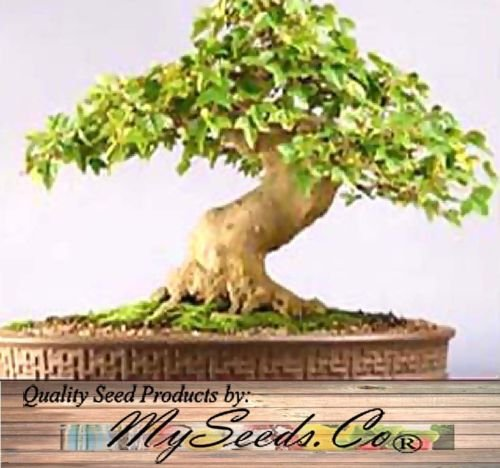 1000 NEW Trident Maple Tree Seed -Acer buergerianum Seeds-Green Yellow Red Foilage