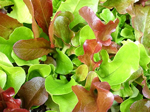500+ Mesclun Lettuce Seeds - Salad Mix - Does best in cool weather