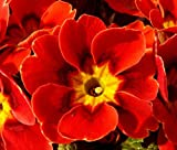 Primrose English Accord Scarlet Perennial Primula Vulgaris - 50 Bulk Seeds