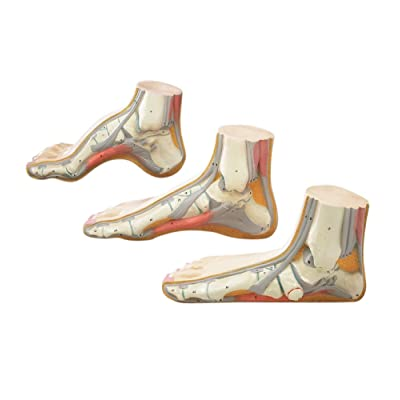 Foot Model Set - Flat Arched and Normal: Industrial & Scientific