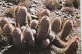 Oreocereus trollii rare cacti trolli old man andes columnar cactus seed 20 SEEDS