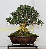 10 Bonsai albero (Olea europaea) Semi PCS oliva, bonsai mini Ulivo RAREbonsai semi di albero per la casa giardino miglior regalo in ufficio