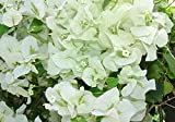 "White Bougainvillea - Everblooming - Indoors/Outdoors/Patio - 4"" Pot"