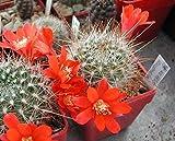 Casavidas Seeds Package: Aylostera Leuconella 10+ Seeds. Lobivia Echinopsis Rebutia