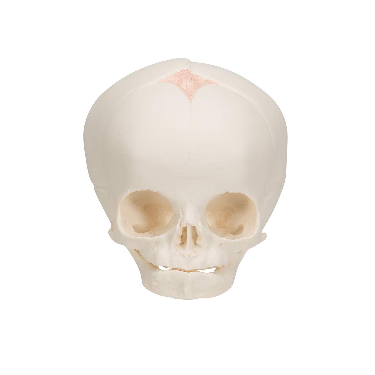 3B Scientific 30th Week of Pregnancy Natural Cast Fetal Skull Model on Stand