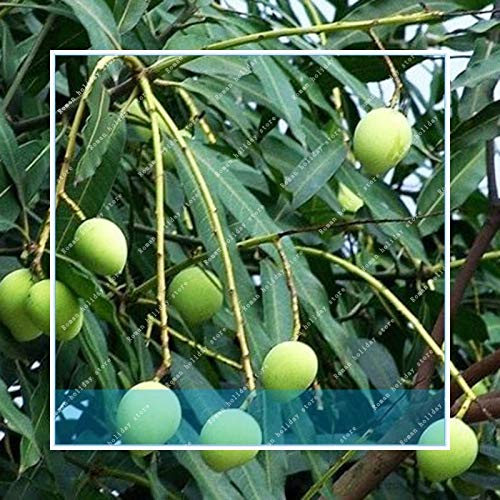 Seed 2pcs Almonds Badam Nut Rare Outdoor Fruit Tree Plant for Beautiful Garden
