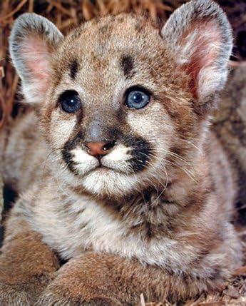gatear prisa Memorándum  Diseño de Puma Baby cachorro de naturaleza Animal Wildlife Póster (16 x  20): Amazon.es: Hogar