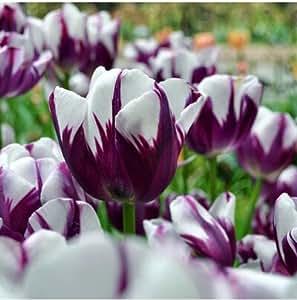 Exóticas Semillas púrpura borde blanco flor del tulipán al aire libre perenne jardín de Bonsai en maceta de plantas libres del envío 120 PC / bolso 2