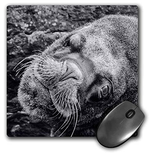 Fur Seal Islands - 3dRose Kike Calvo Patagonia ISLA DE Los ESTADOS - South American Fur Seal, Arctocephalus Australis, Staten Island - Mousepad (mp_233882_1)