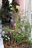New HENNA Mehandi Dye Plant Lawsonia Inermis Tattoo Flower Tree 20+ Seeds
