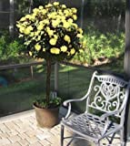 Sunny Knock Out Rose Trees 2-3 feet Tall - Tons of Fragrant Yellow Knock Out Roses on a Patio Rose Tree