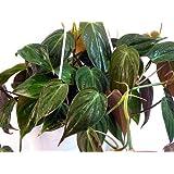 """Jmbamboo - Rare Velvet Leaf Bronze Micans Vine - Easy to Grow - 4""""pot"""