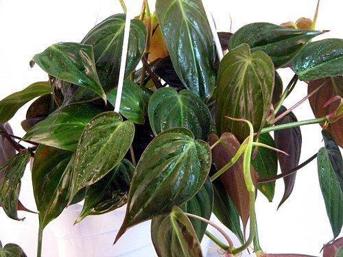 Jmbamboo - Rare Velvet Leaf Bronze Micans Vine - Easy to Grow - 4
