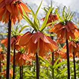 Van Zyverden Fritillaria Rubra Set of 3 Bulbs